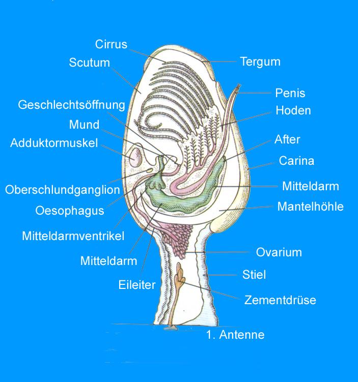 Anatomie Muschel