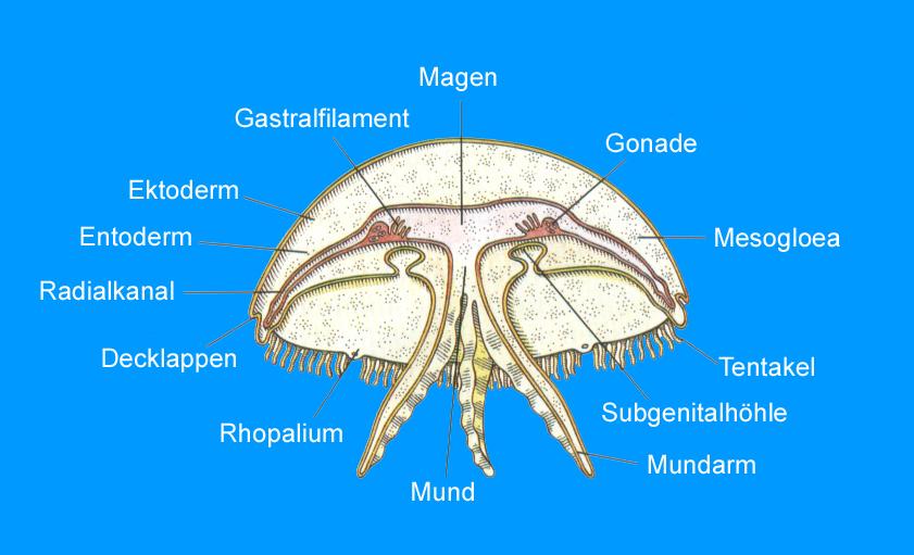 Anatomie Kopffuessler
